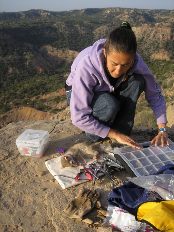 Conservation Careers Blogger Naima Montacer conducting her master's degree research on ringtails in Palo Duro Canyon State Park.