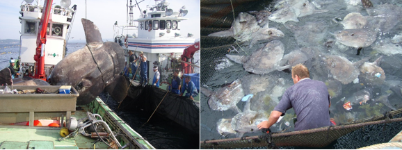Ocean sunfish fishery, Japan (credit Kotaro Sagara); Accidental sunfish bycatch, Italy (credit Lukas Kubicek).