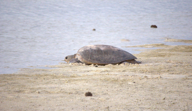 A female green turtle returning to the sea after laying her eggs on Heron Island, where students learn techniques for surveying coral reefs. Credit: Michael Traurig.