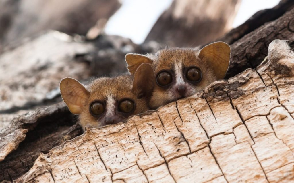 Grey-brown mouse lemurs, one of about 120 lemur species in Madagascar
