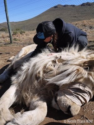 Research-vet-caring-for-an-anesthetised-male-lion-as-an-example-of-conservation-jobs