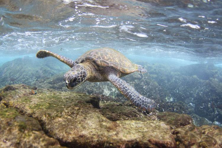 Green-sea-turtle_Hawaii-Marine-Animal-Response