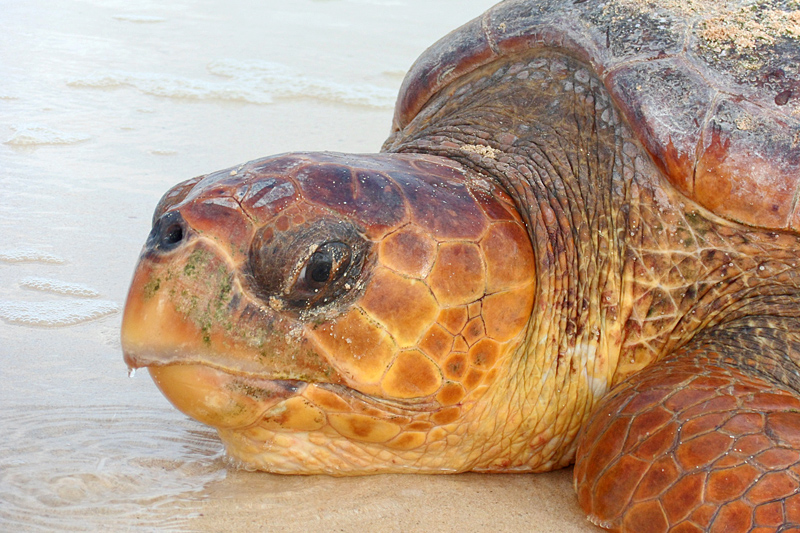 Loggerhead-turtle-female-after-laying-egg
