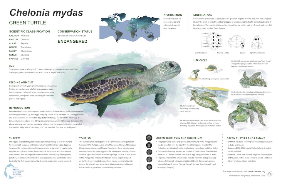 green-turtle-chelonia-mydas-infographic-by-lamave-and-nailah-alam