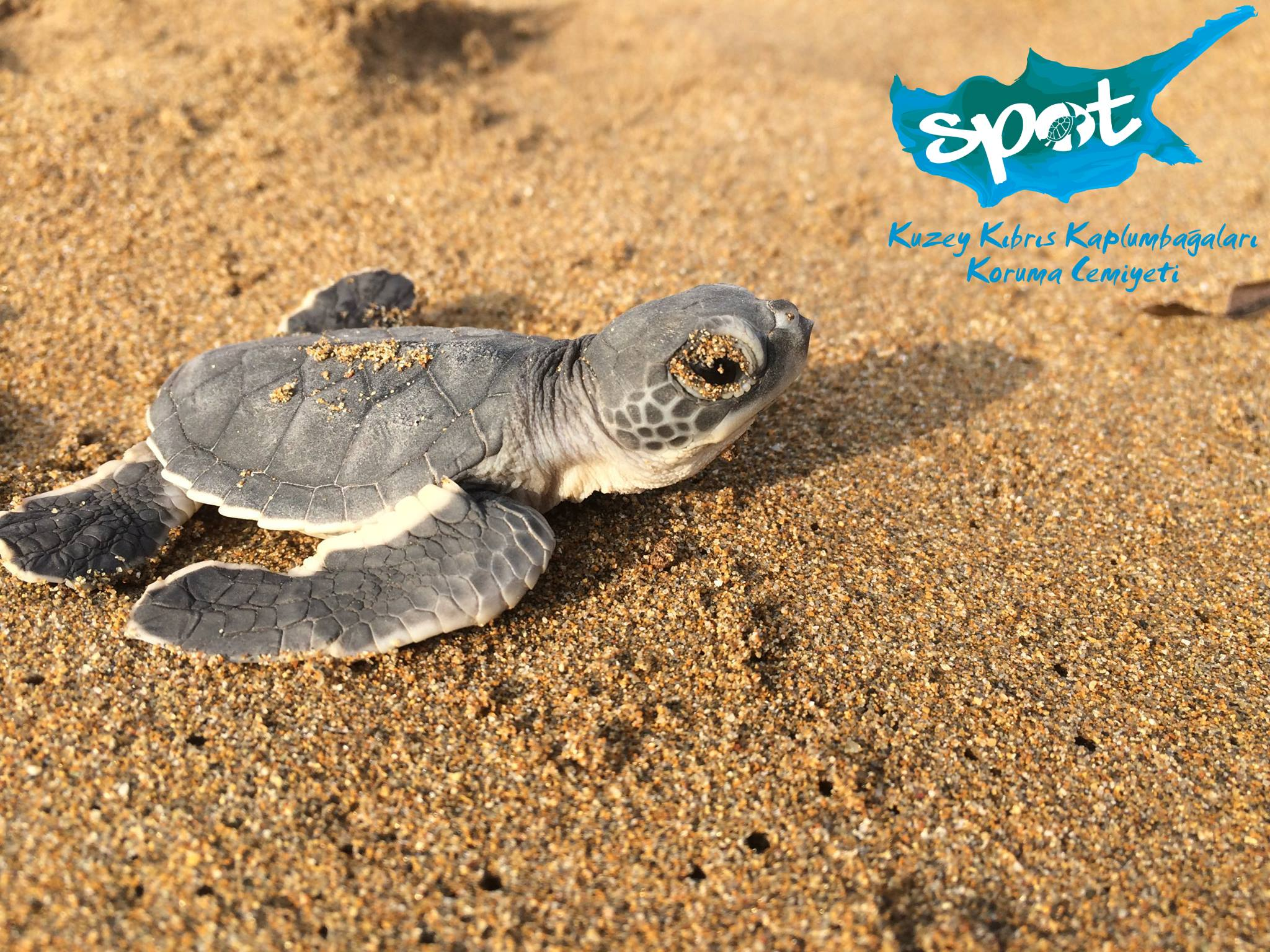 Baby Turtle - Society for the Protection of Turtles (SPOT)