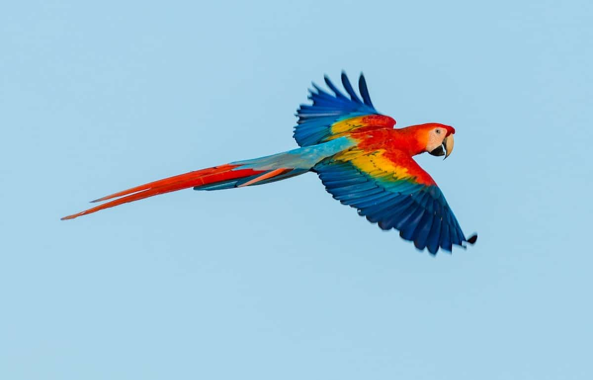 Scarlet-macaw-in-flight-during-a-no-fee-conservation-internship