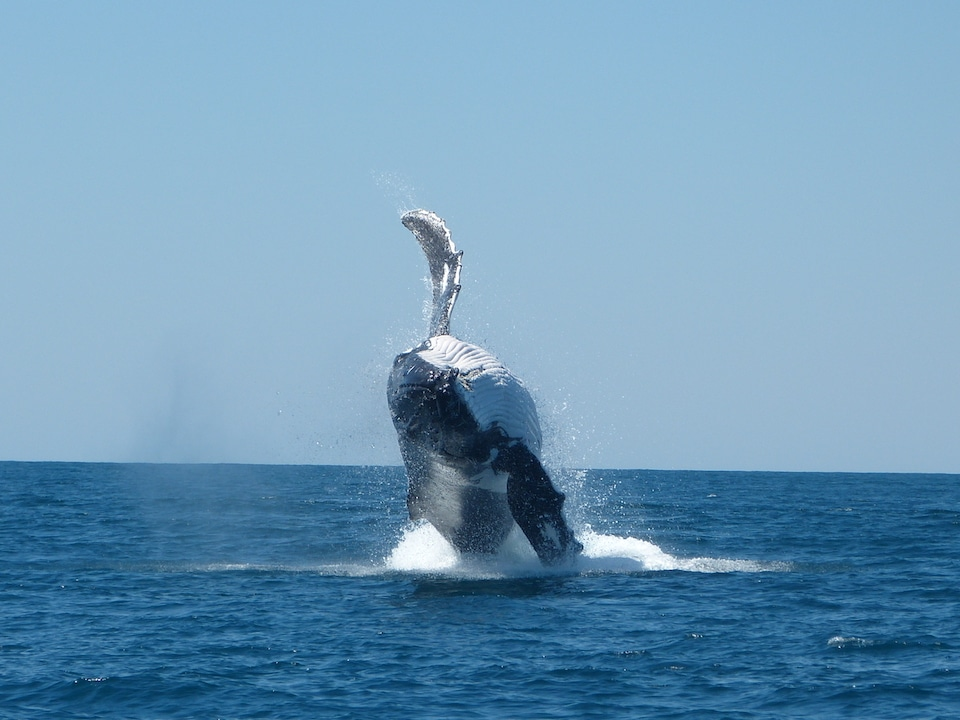 A humpback whale breaches out of the water on the Ningaloo Reef.