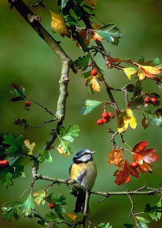 Blue tit with hawthorn